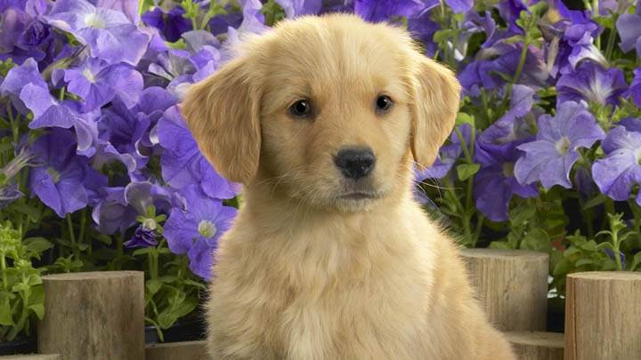 Golden Labrador Puppy And Purple Flowers