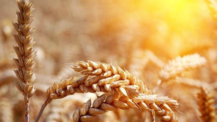 Awesom Wheat Wallpaper In Sunset
