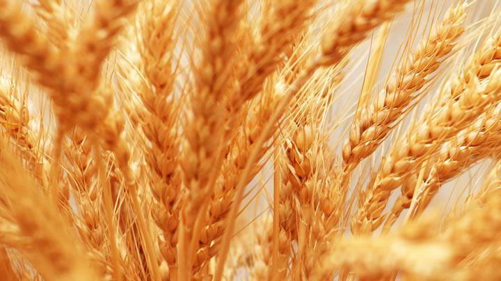 Wheat Closeup Picture