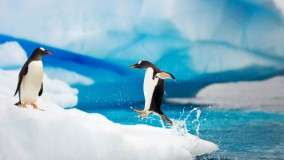 Gentoo Penguins Antarctica