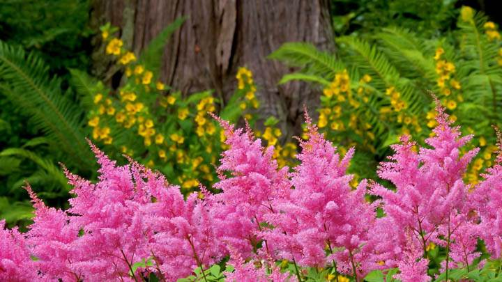 Astilbe Garden Washington