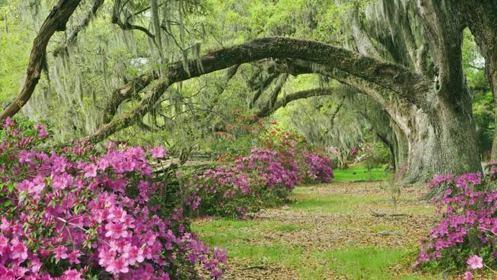 Azaleas and Live Oaks, Magnolia Plantation, South Carolina