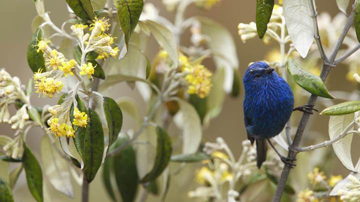 Blue-and-Black Tanager, Andes, Peru