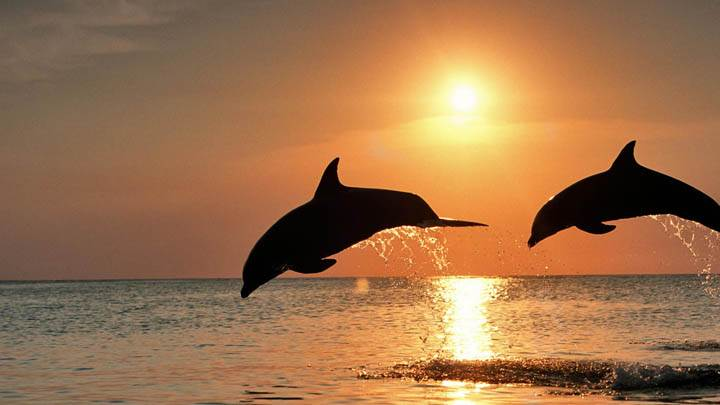 Bottlenose Dolphins Jumping at Sunset, Honduras