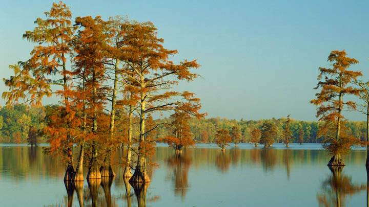 Cypress Trees Bathed In Morning Light Horseshoe Lake Illinois