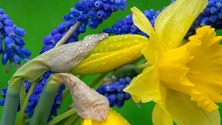 Daffodils and Hyacinth