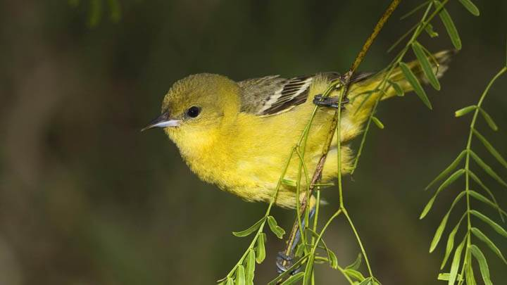 Female Orchard Oriole, Rio Grande Valley, Texas