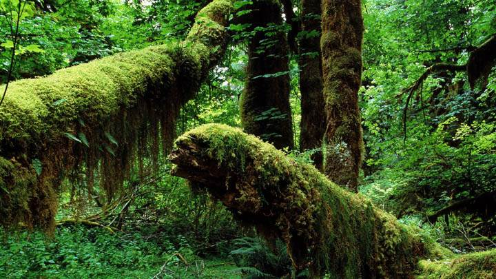 Mossy Trunks, Hoh Rainforest, Washington