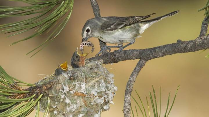 Plumbeous Vireo Mother With Hungry Chicks