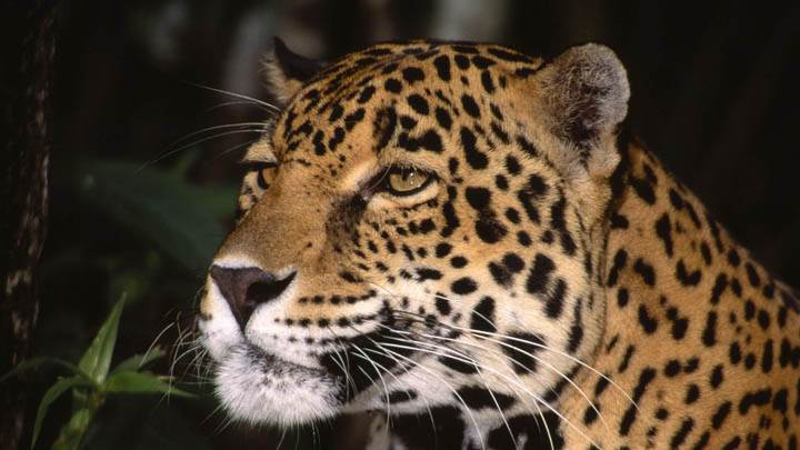 Profile of a Jaguar