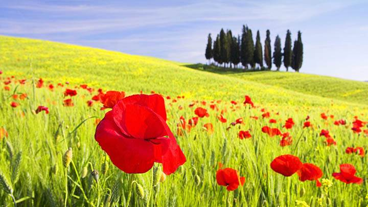 Red Poppies, Tuscany, Italy