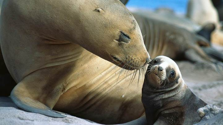 Sea Lion Smooch, Auckland Islands, New Zealand