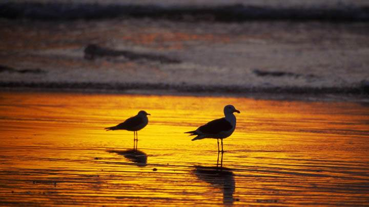Seagulls at Sunset, Southern California
