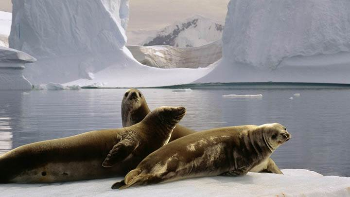 Seals at the South Pole, Antarctica