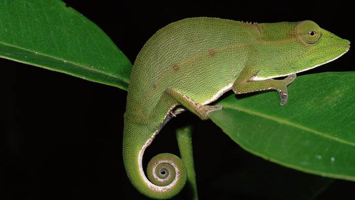 Short-Nosed Chameleon at Night