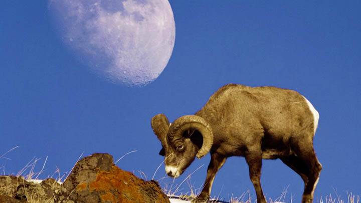 A Bighorn Sheep With Moon Yellowstone National Park