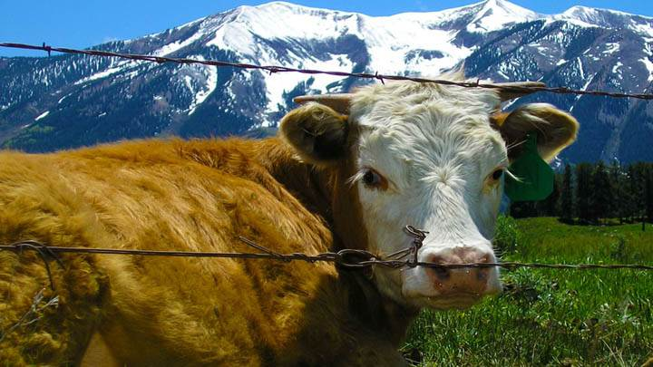 A Cow Near Mountains