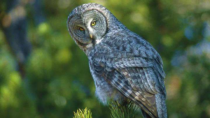 A New Perspective Great Grey Owl Wyoming