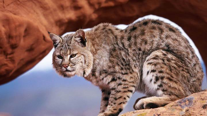 A Watchful Bobcat
