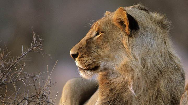 African Lion, Kruger National Park, South Africa