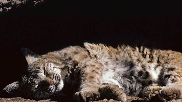 Afternoon Snooze, Bobcat