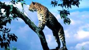 Amur Leopard Scout