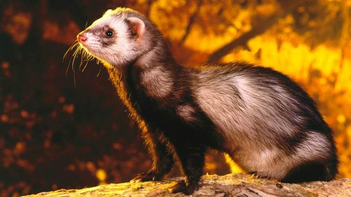 As Good as Gold, Ferret