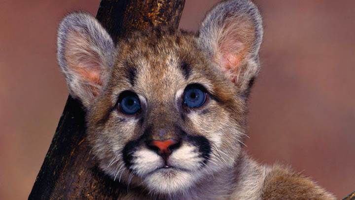 Baby Blue Eyes Cougar