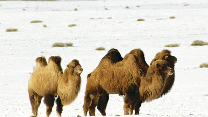 Bactrian Camels Altai Mountains Mongolia