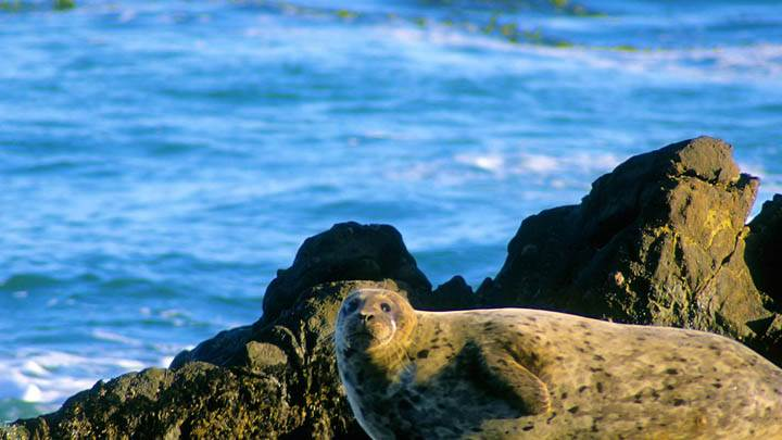 Basking in the Sunshine, Harbor Seal