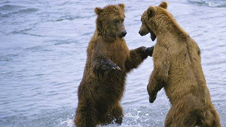 Bear Boxing