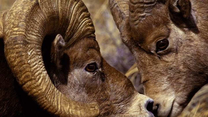 Big Horn Ram and Ewe