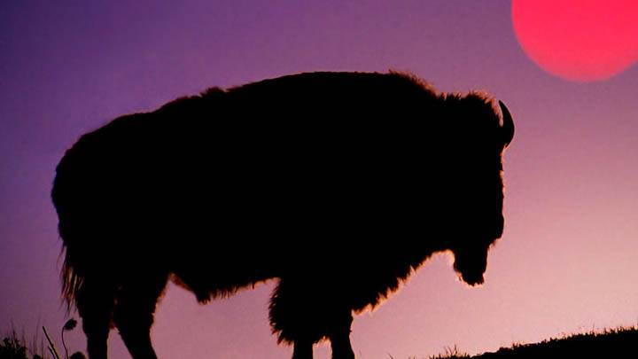 Bison Silhouetted at Sunrise