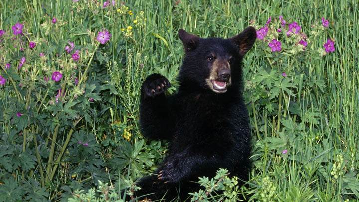 Black Bear Cub in Wildflowers