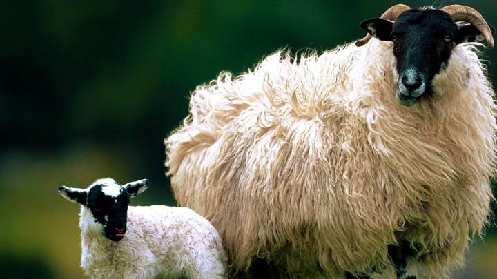 Blackface Sheep With Lamb Scotland