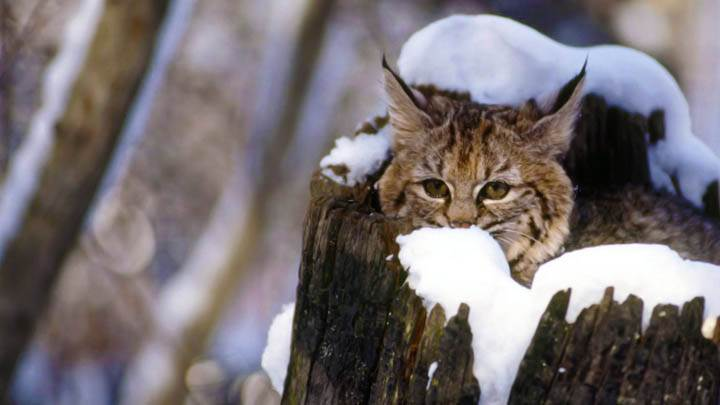 Bobcat Kitten, Flathead Valley, Montana