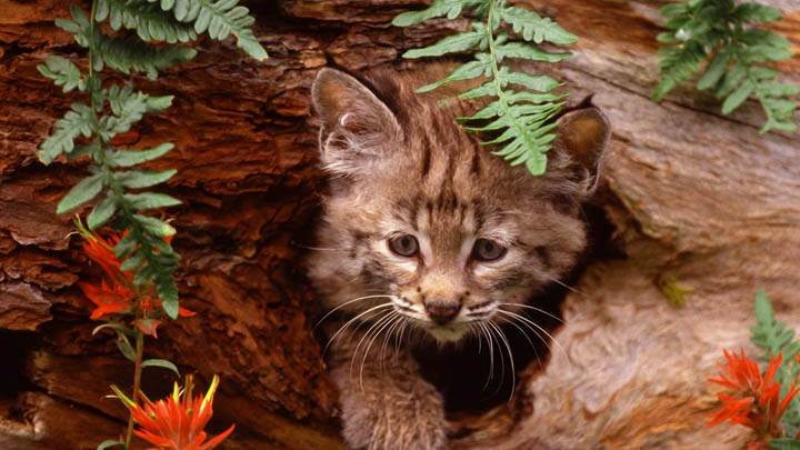 Bobcat Kitten In Hollow Log
