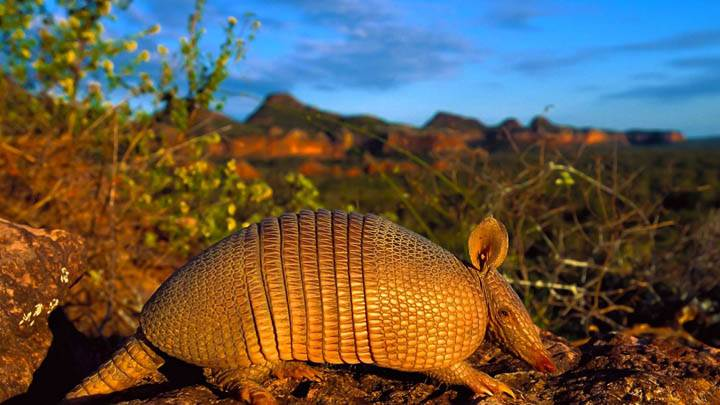Brazilian Lesser Long-Nosed Armadillo
