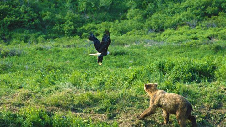 Brown Bear and Bald Eagle, Alaska