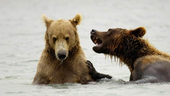 Brown Bears Playing, McNeil River, Alaska