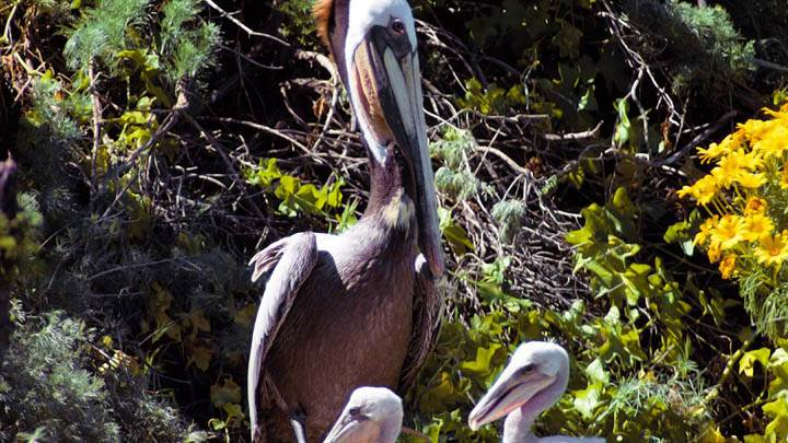 Brown Pelican Family, California