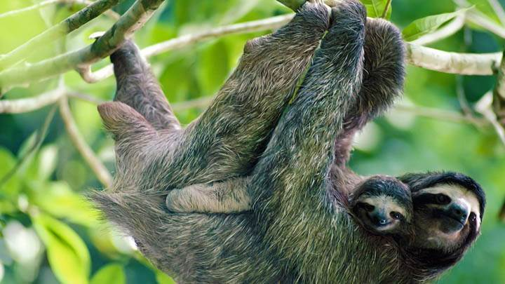 Brown-Throated Three-Toed Sloth, Panama