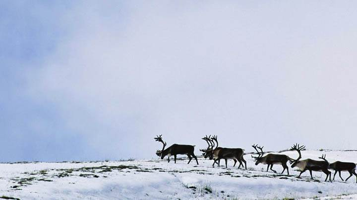 Caribou Bulls Crossing Slope, Alaska