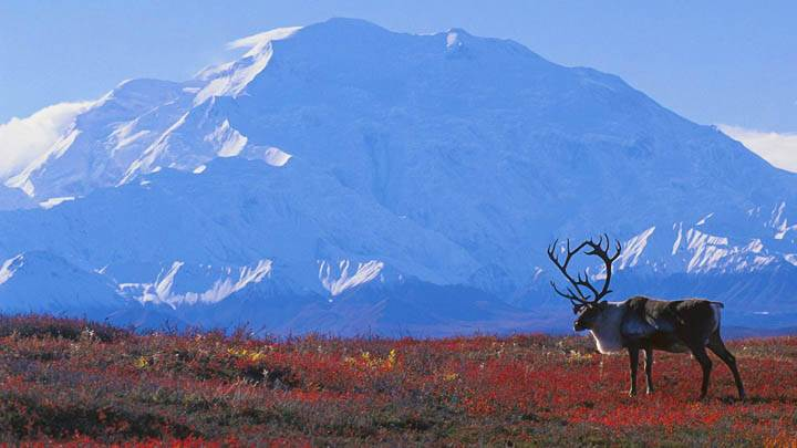 Caribou on Autumn Tundra, Denali National Park