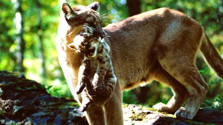 Carried Away, Mountain Lions