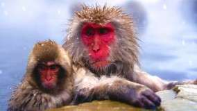 Chilly, Japanese Snow Monkeys