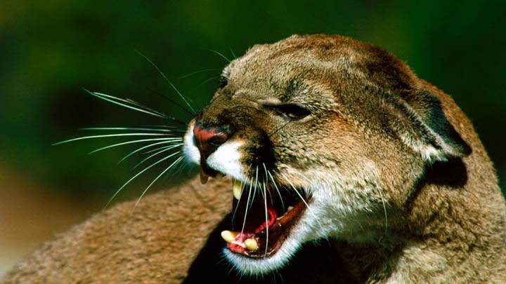 Close Snarl Cougar