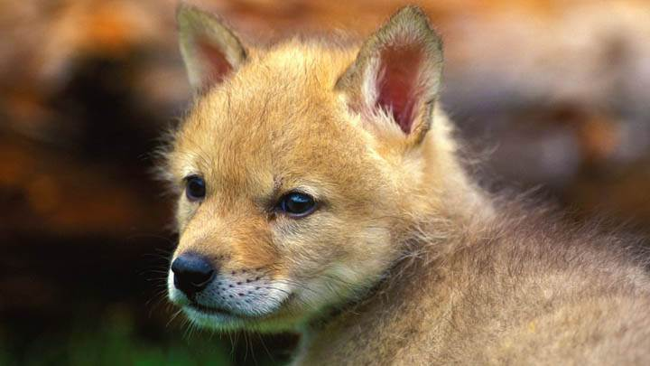Coyote Puppy