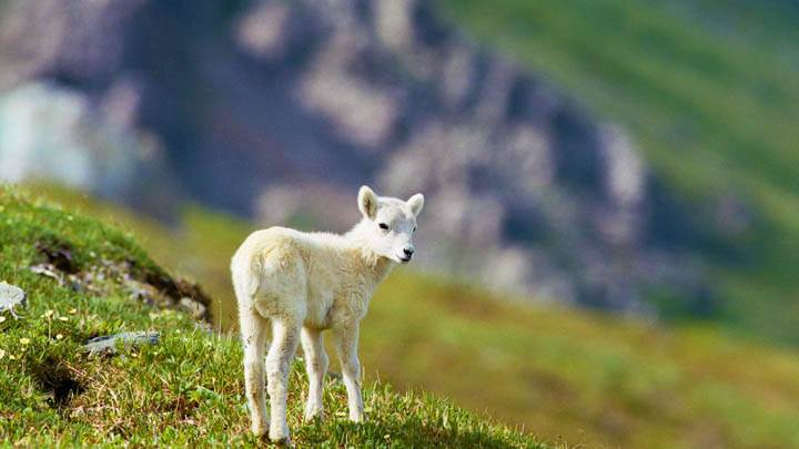 Dall Sheep Lamb,  Arctic National Wildlife Refuge