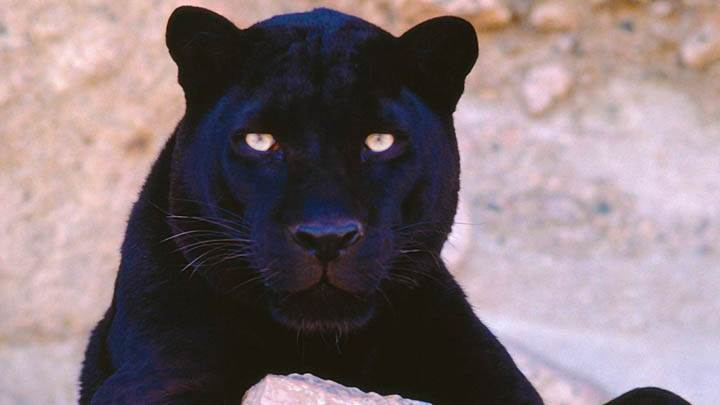Do Not Stare at Me, Black Leopard